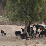 Riad Asmaa_chèvres